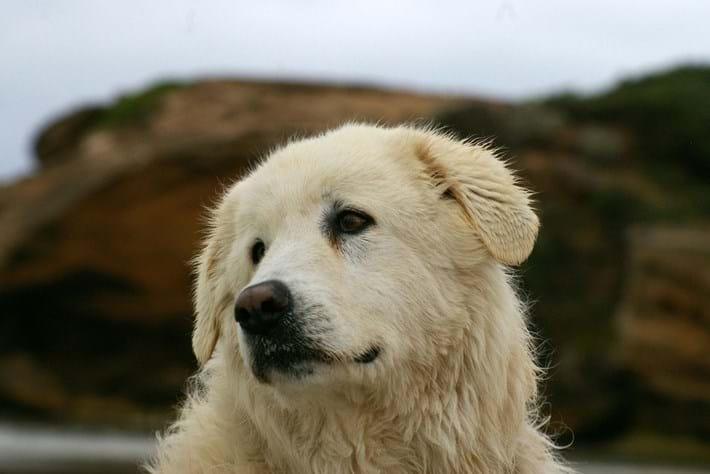 Eudy Maremma Dog 2015 09 15