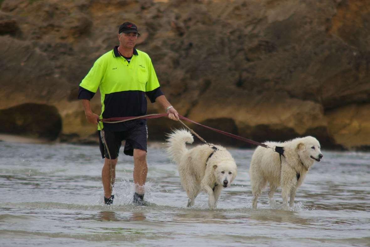 Maremma -dogs -handler _2015_09_15