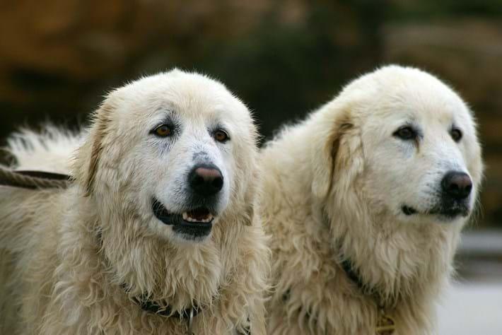 sheepdog maremma page_2015_09_15