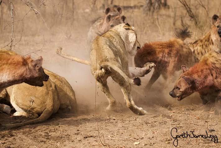 Lions Vs Hyenas 2