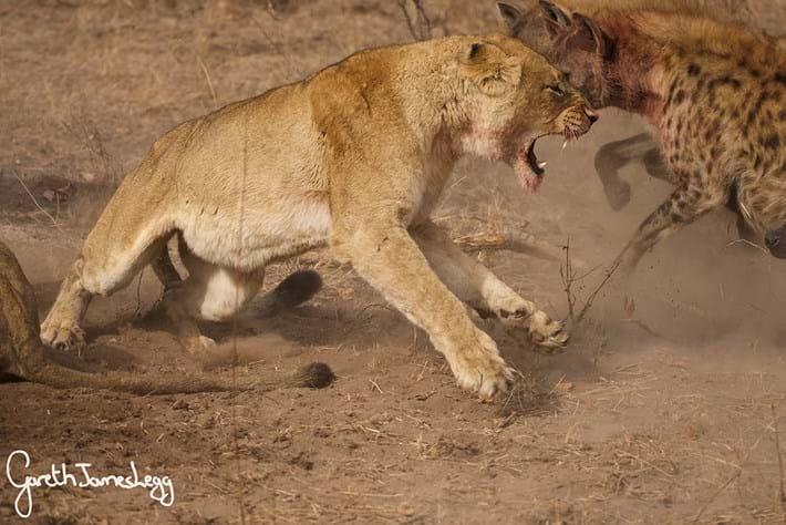 Lions Vs Hyenas 3