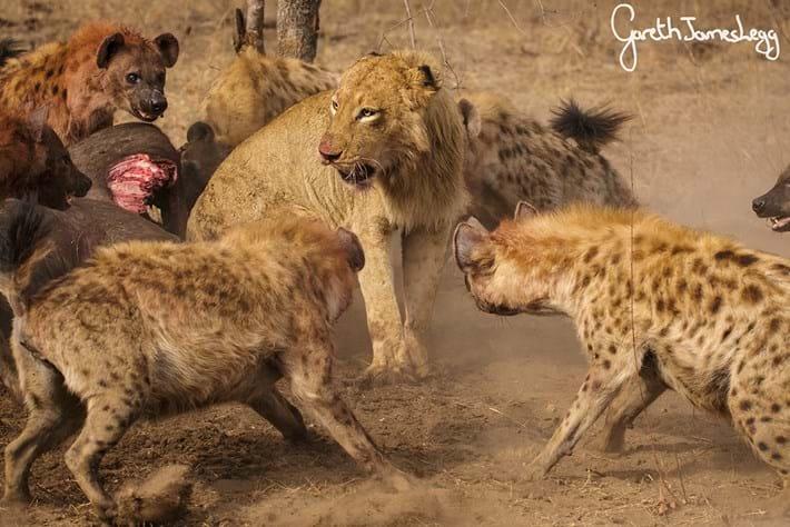 Lions Vs Hyenas 4