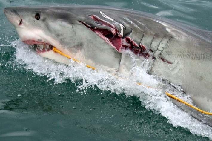 White shark bite-Nicola-Stelluto-2015-9-15