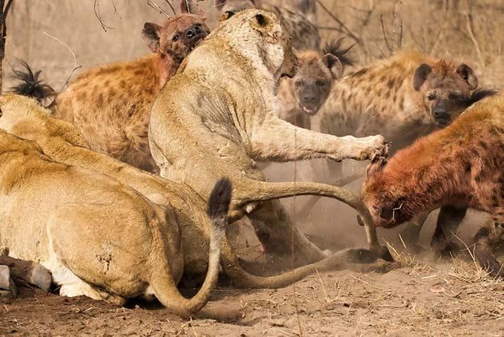 Lions Vs Hyenas Page 2015 09 16