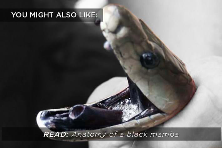 Black Mamba Anatomy _related _2015_09_16