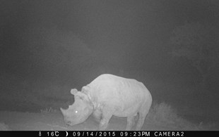 In Kenya, rangers are racing against time to find a snared rhino calf before it's too late