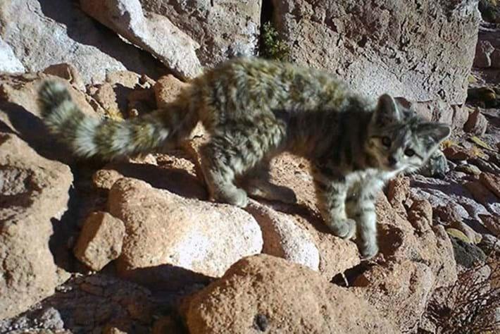 Andean cat cameratrap 2015-09-18