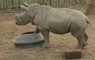 VIDEO: Adorable baby rhino shows his food bowl who's boss