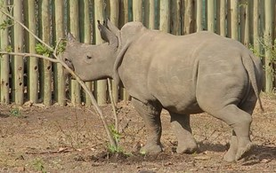 VIDEO: Fear me! Adorable baby rhino just wants to destroy trees