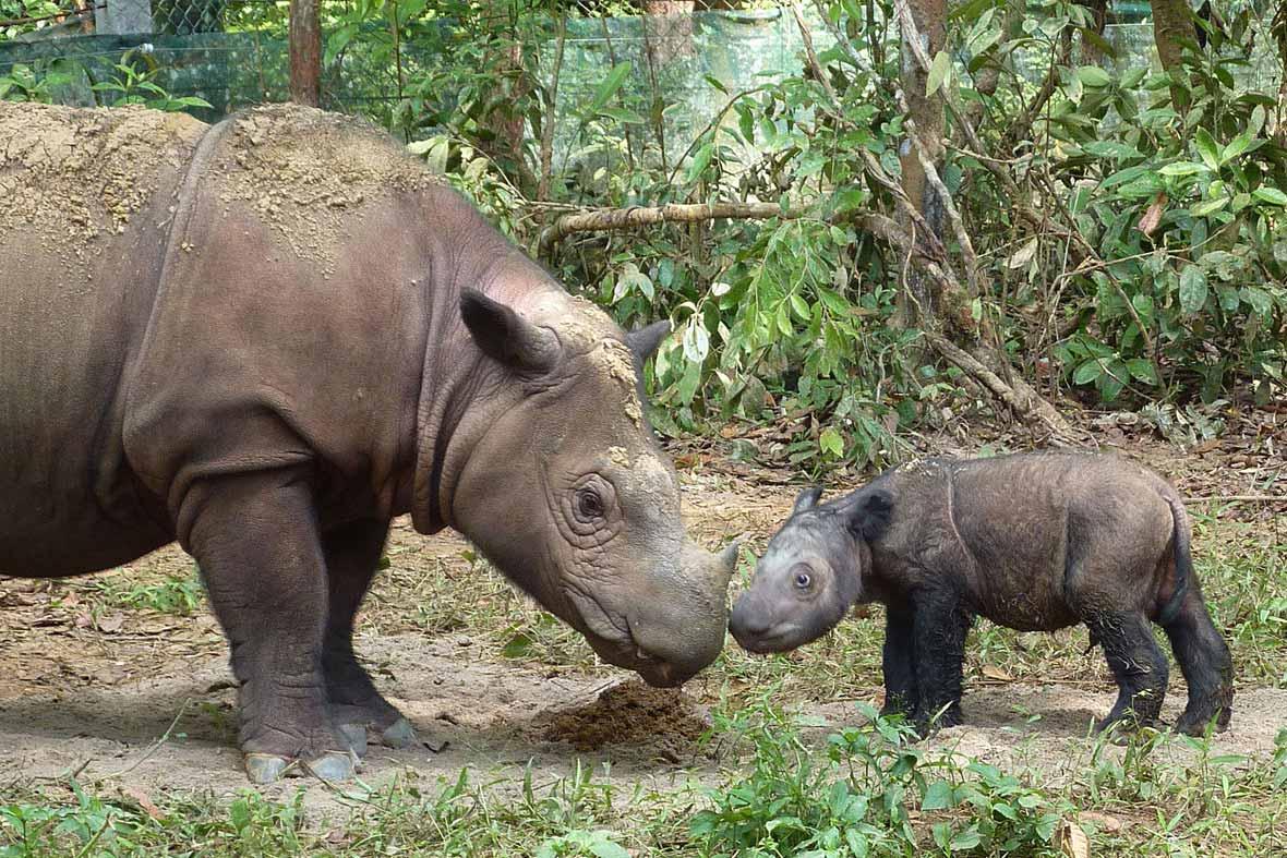 Good News A Rare Sumatran Rhino In Indonesia Is Pregnant