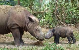 Good news! A rare Sumatran rhino in Indonesia is pregnant