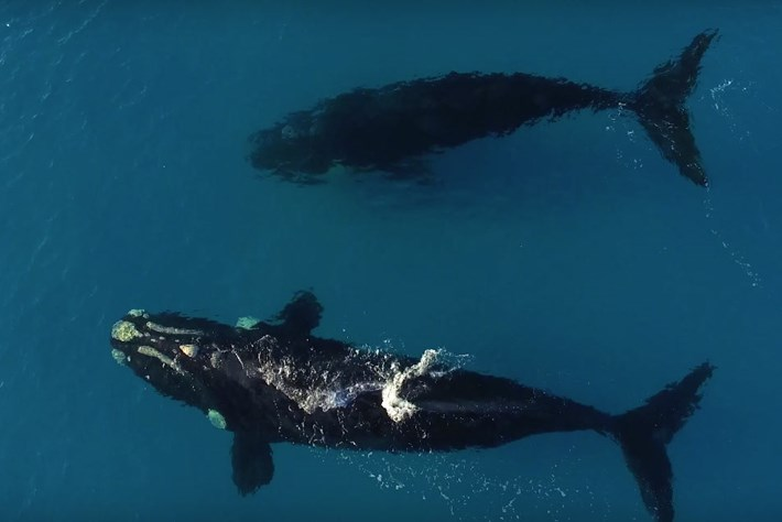Southern Right Whale 2015 09 28