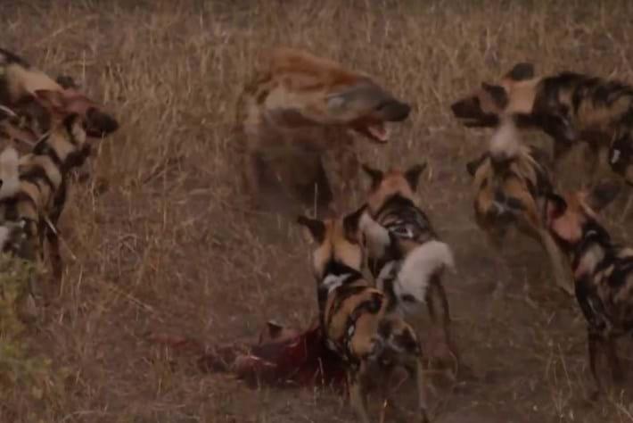 hyena-page-2015-9-27