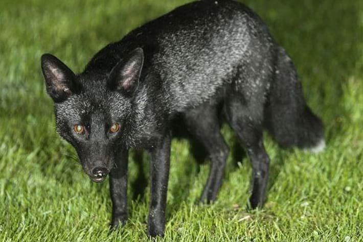 Black -fox _2015_09_30