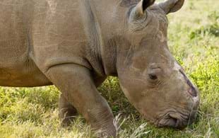Economist Michael 't Sas-Rolfes on why legal horn trade will save rhinos