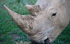 A moving dispatch from the war against rhino poaching
