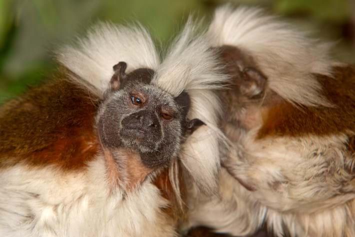 2013 09 24 Tamarin Monkeys Whisper 01