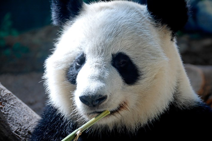 2013 08 20 Breeding Pandas 01