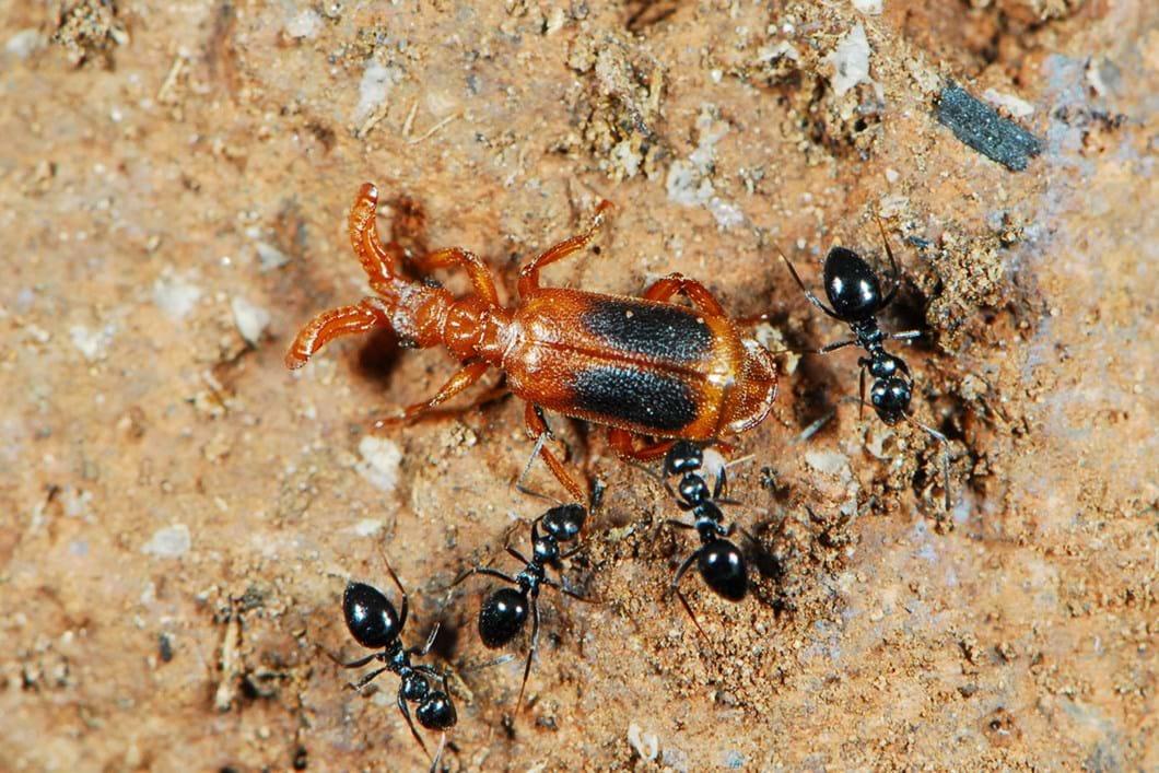 Ant nest beetle 02