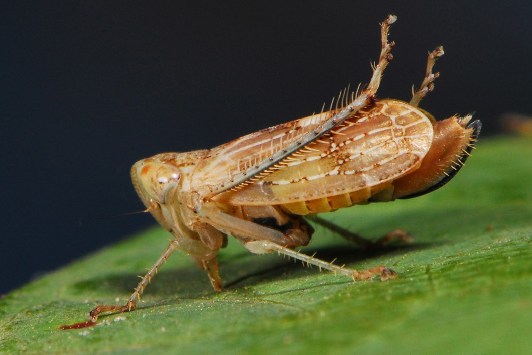 Leafhopper Insect 02