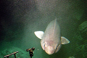 sofashark-shark 2-2015-10-5