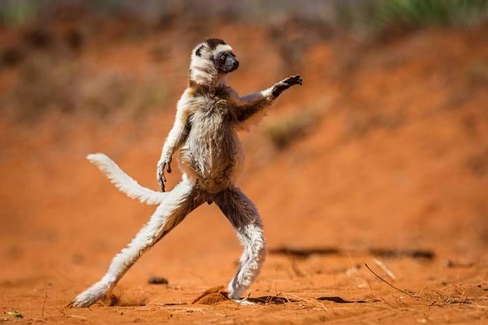 Alison Buttigieg Lemur 2015 10 08