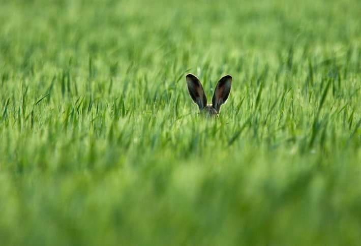 Axel Kottal Hare Ears 2015 10 08