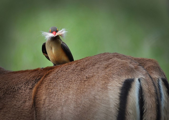 Barrie Walsh Oxpecker 2015 10 08