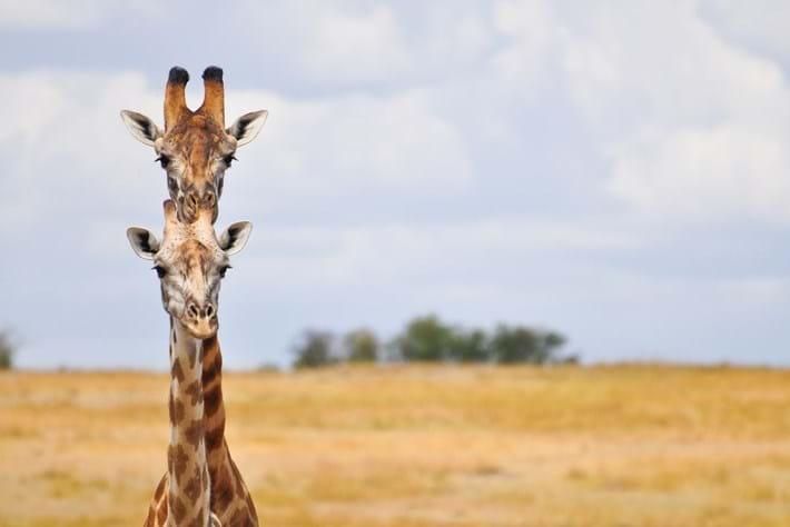 Janet Miles Giraffe Necks 2015 10 08