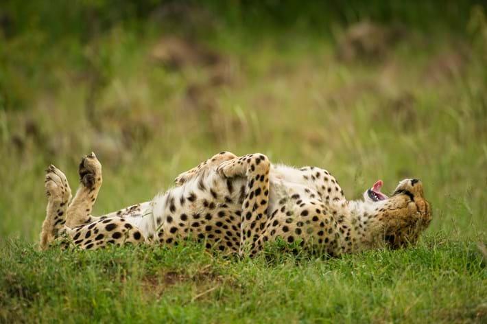 Jeff Derx Cheetah Grass 2015 10 08
