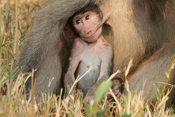 Renata Ewald Baboon Baby 2015 10 08