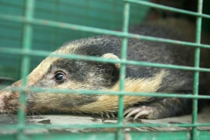 Hog Badger 1 2015 10 14