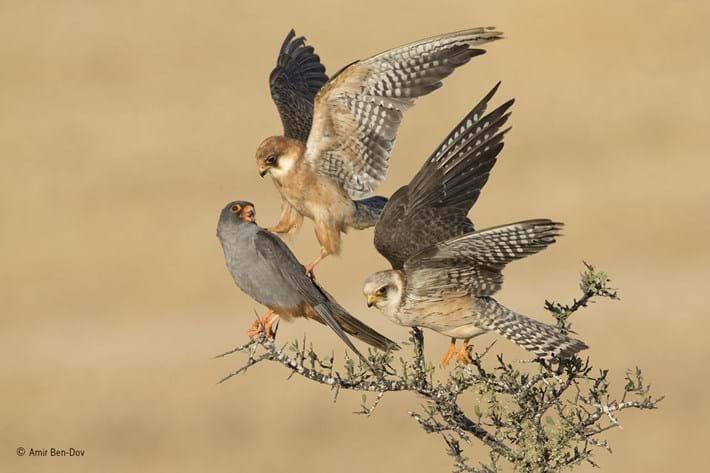 Amir Ben Dov Birds (1)