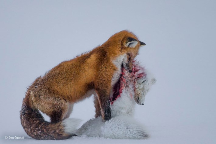 Don Gutoski Wildlife Photographer Of The Year