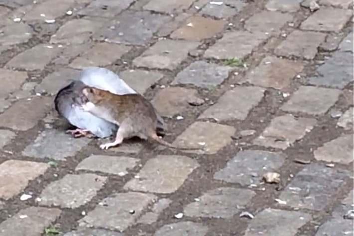 Rat pigeon 2015-10-14