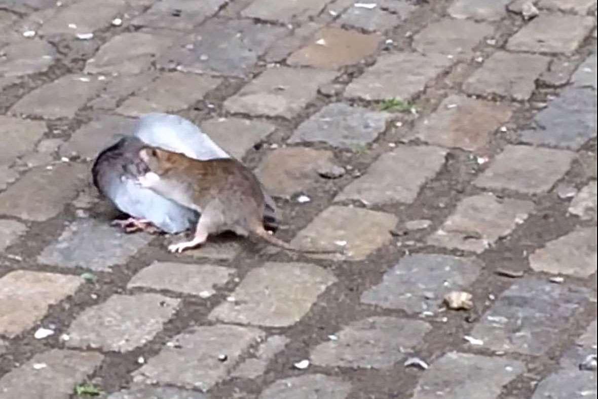 rat takes on pigeon in the ultimate urban wildlife