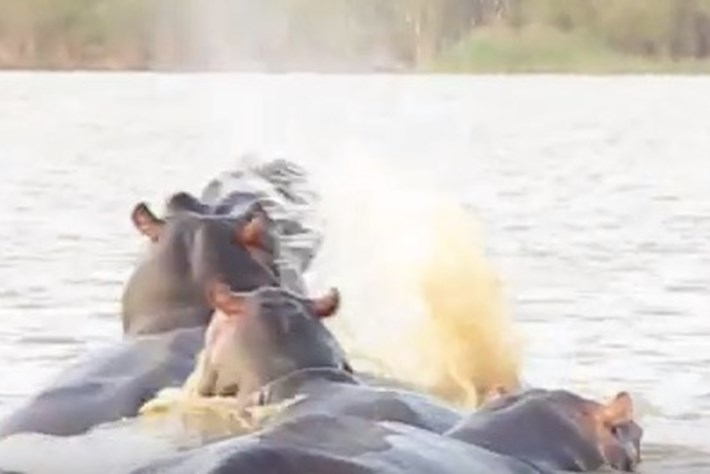 Shark swims into hippo horde, realises it's made a horrible mistake