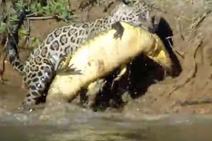 Jaguar _caiman _2015_10_16