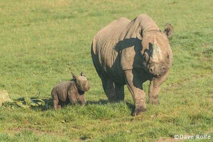 WATCH: Critically endangered black rhino calf born at UK wildlife park