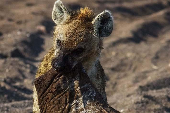 Hyena -ellie -foot -page _2015_10_21