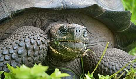 Eastern Santa Cruz Tortoise _2015_10_22