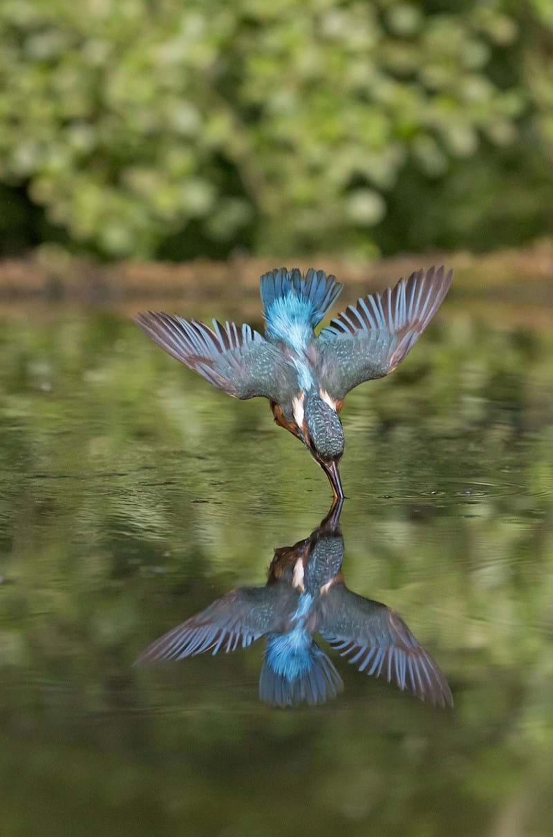 Dive-bombing kingfisher's underwater hunt caught on camera