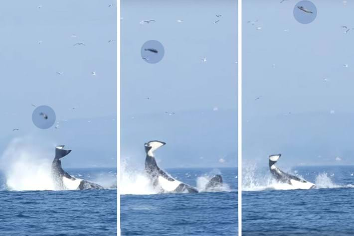 Orca flicks seal 2015-10-26