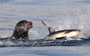 Sea lion vs shark does not always end how you'd expect
