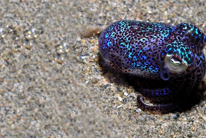 Bobtail squid are masters of hide-and-seek and it's the cutest thing
