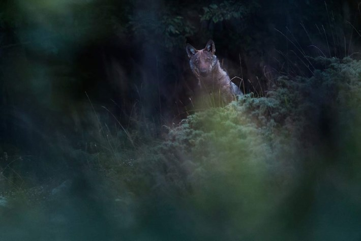 Music of the night: Listen to the eerie song of Italy's wolves