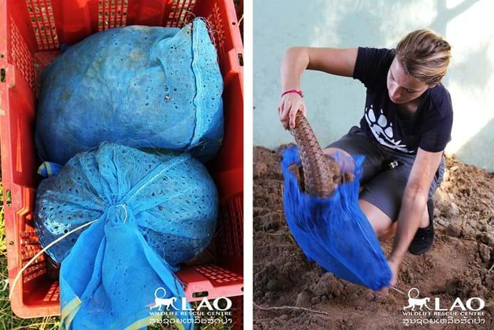 Pangolin Bust Laos 3 2015 11 06