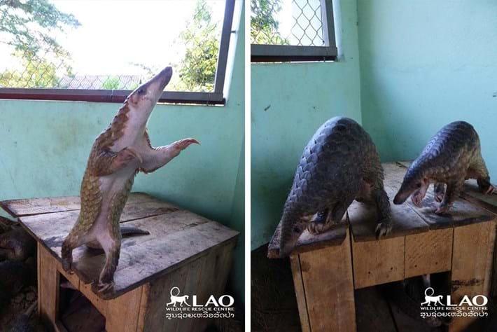 Pangolin Bust Laos 5 2015 11 06