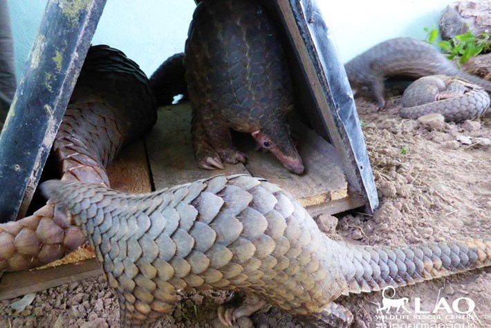 Pangolin Bust Laos 6 2015 11 06