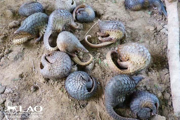 Pangolin Bust Laos 7 2015 11 06